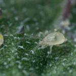 LIMONICA roofmijt tegen trips en wittevlieg