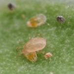 Amblyseius swirskii roofmijt tegen trips en wittevlieg