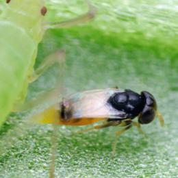 Aphelinus abdominalis sluipwesp parasiteert bladluis