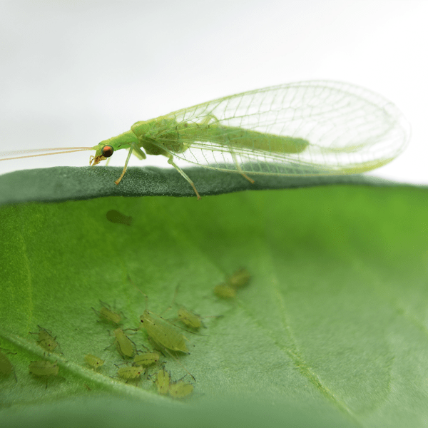 CHRYSOPA, 1000 larven tegen bladluis