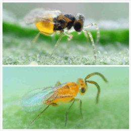 ENERMIX sluipwespen tegen wittevlieg