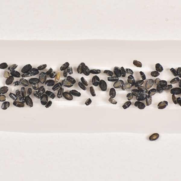 ENSTRIP poppen van sluipwespen tegen wittevlieg