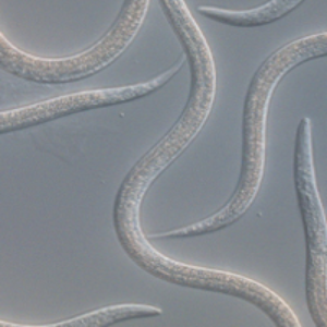 ENTONEM - Steinernema feltiae, Nematoden tegen de varenrouwmug