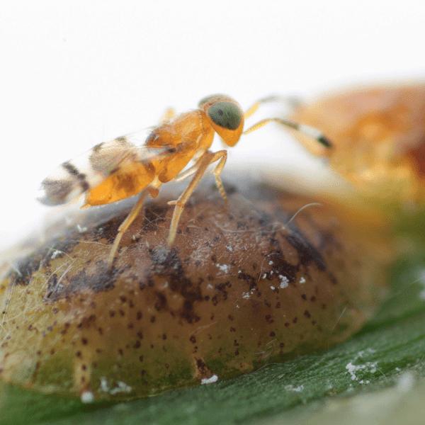 MICROTERYS NIETNERI parasitoid against soft scale