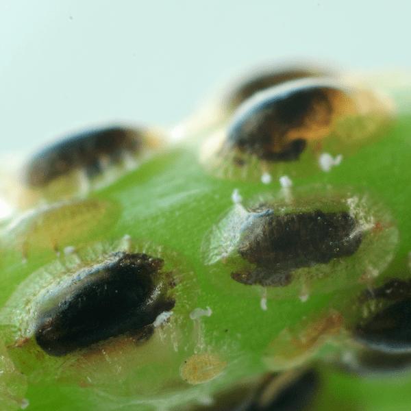 SAISIN-C parasitering van dopluizen