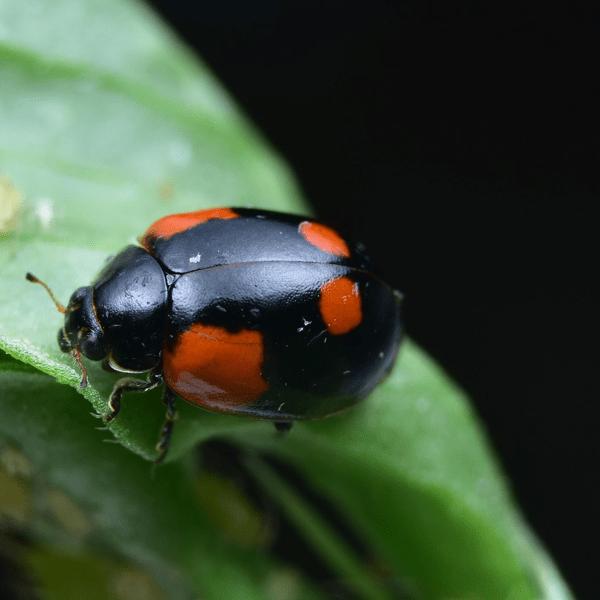 Adalia adult, zwarte kleurvariant