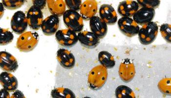 ADALIA Adalia bipunctata lieveheersbeestjes tegen bladluis