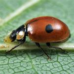 Adalia bipunctata tweestippelig lieveheersbeestje