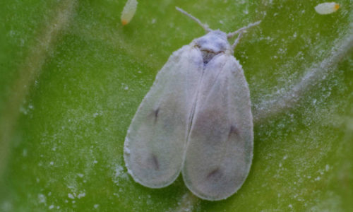 Cabbage whitefly Aleyrodes proletella adult
