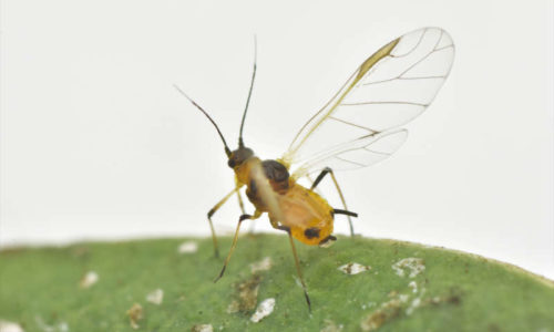 Aphis nerii winged adult