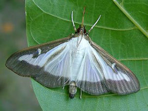 Box tree moth light morph
