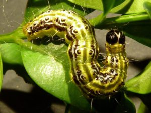 Box tree moth caterpillar