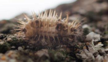 CHILIX Chilocorus nigritus larva