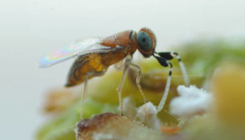 CITRIX-Ap Anagyrus pseudococci female