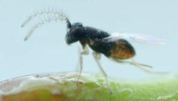 CITRIX-Ap Anagyrus pseudococci male
