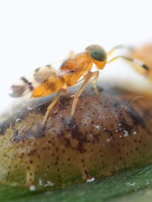 Parasitoid COCCIN - Microterys nietneri - female biological control of brown soft scale