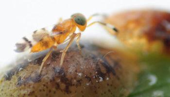 COCCIN Microterys nietneri female