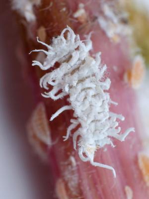 Predatory beetle CRYPTOS - Cryptolaemus montrouzieri larva