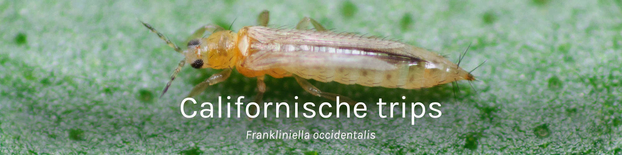 Frankliniella occidentalis Californische trips