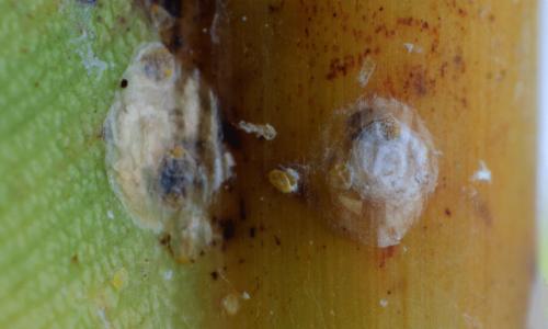 Boisduval scale Diaspis boisduvalii female
