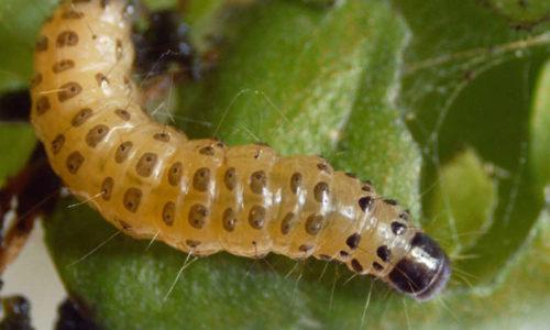 European pepper moth caterpillar Duponchelia fovealis