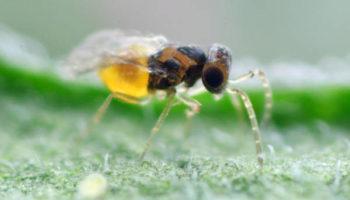 EN-STRIP Encarsia formosa female