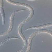 ENTONEM nematodes
