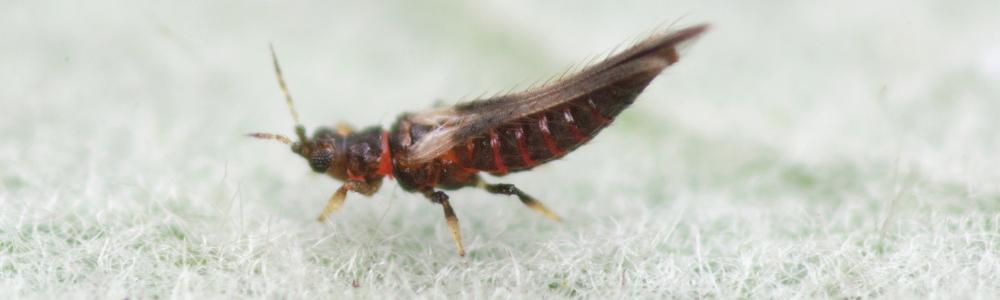 Volwassen Echinotrips