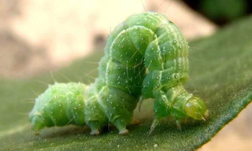 Silver Y moth caterpillar Autographa gamma