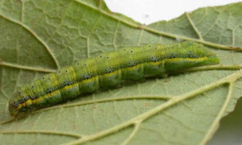 Bright-line brown-eye caterpillar Lacanobia oleracea