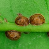 Halvebol dopluis - Saissetia coffeae