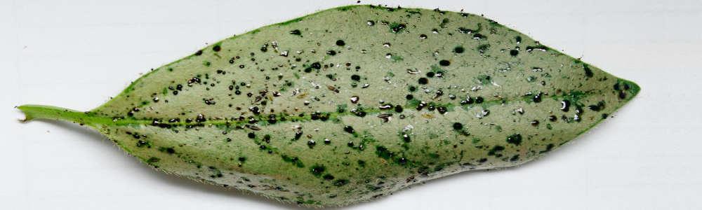 Heliothrips haemorrhoidalis feeding damage