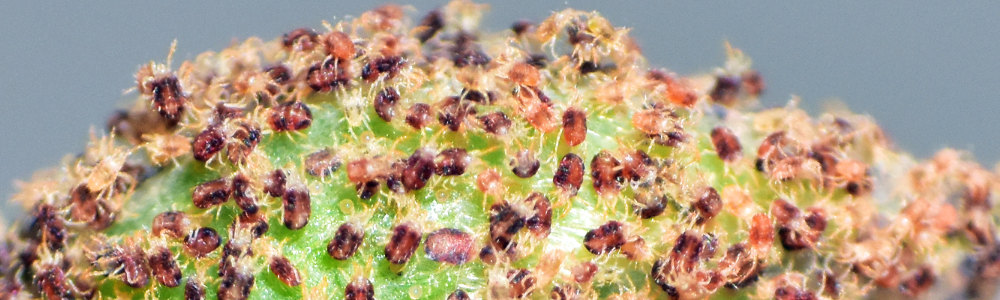 Two-spotted spider mite Tetranychus urticae group