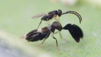 LONGIX-Ca Cryptanusia comperei male and female
