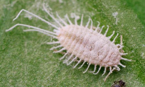 Langstaartwolluis - Pseudococcus longispinus - female