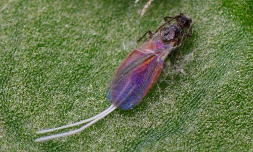wolluis - Pseudococcus longispinus - mannetje