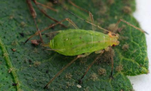 Aardappeltopluis Macrosiphum euphorbiae