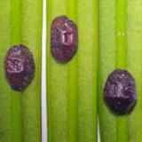 Oleanderdopluis - Saissetia oleae