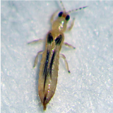 Orchideeëntrips - Chaetanaphothrips orchidii