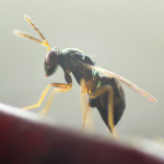 PERIPLAN-Aprostocetus hagenowii
