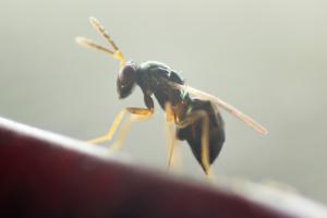 PERIPLAN sluipwesp bestrijding kakkerlakken Aprostocetus hagenowii vrouwtje