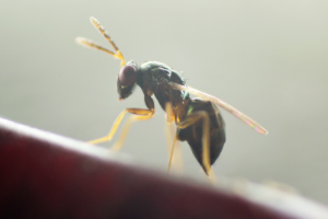 PERIPLAN - Aprostocetus hagenowii female