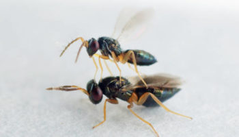 PERIPLAN Aprostocetus hagenowii male and female