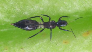 PREDATRIP Franklinotrips vespiformis vrouwtje