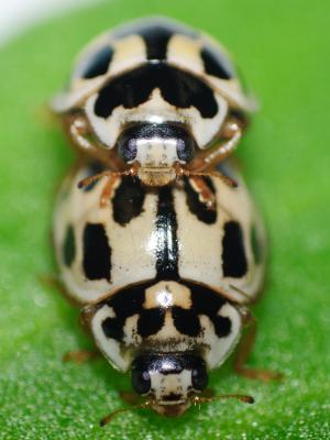 PROPYLEA - Propylea quatuordecimpunctata male and female