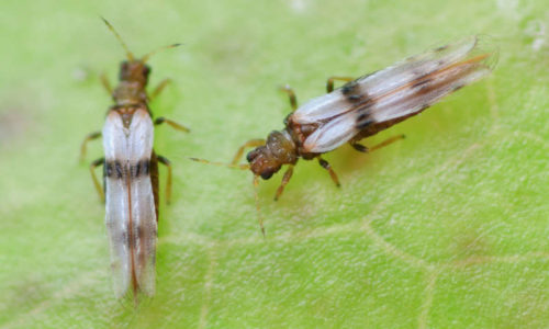 Palm thrips Parthenothrips dracaenae adults