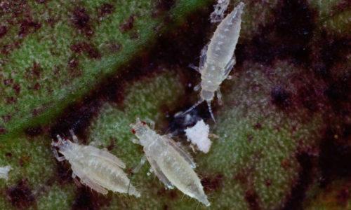 Palm thrips Parthenothrips dracaenae pupae
