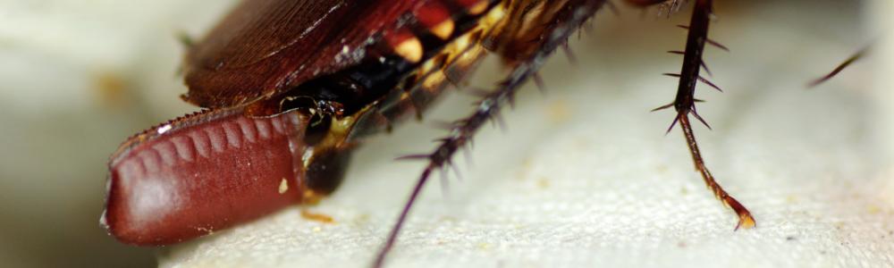 Australische kakkerlak Periplaneta australasiae eipakket