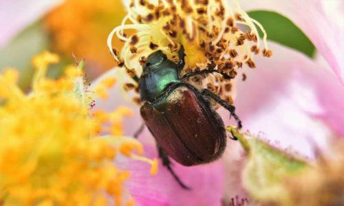 Phyllopertha horticola rozenkever