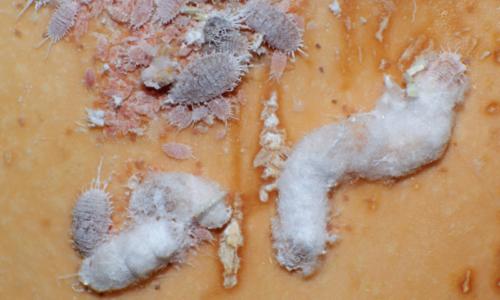 Pseudococcus viburni egg cluster